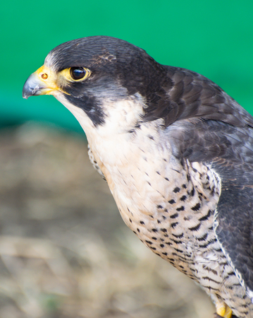 A portrait of a Peregreine Falcon bird of Prey
