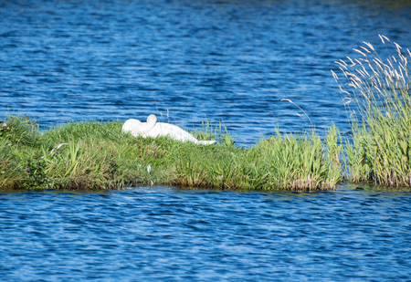 A mute Swan asleep on its nest in the middle of a lake