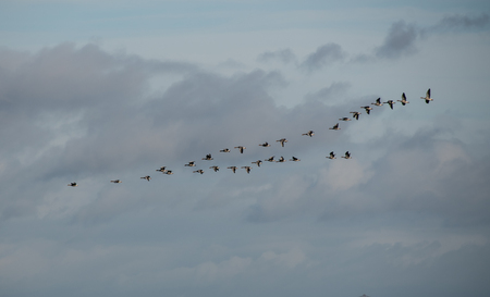 A flock of Graylag Geese in Flight Stock Photo