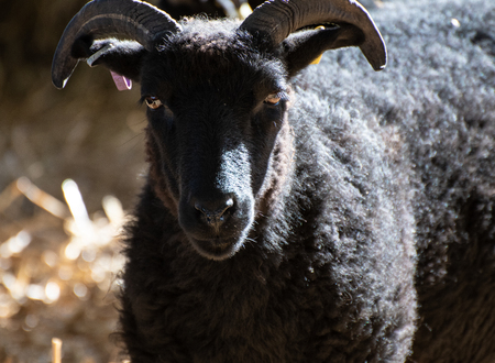 A black North Ronaldsay Sheep, also known as Orkney Sheep Stock Photo