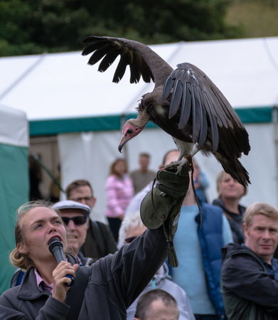 Henley-on-Thames, United Kingdom - August 27 2018:   A falconer holds aloft an African Hooded Vulture during a Falconry display at Henley Country Crafts show 新聞圖片
