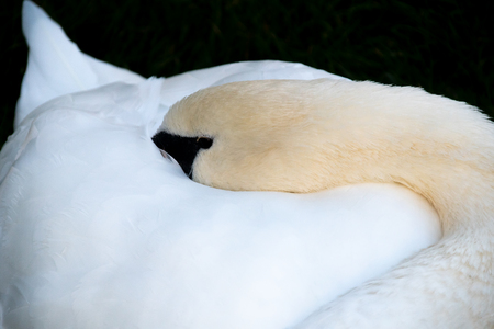 A mute swan sleeping with its beak buried in its feathers