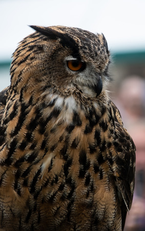 A Eurasian Eagle owl portrait during a falconry display at Henley Country crafts show