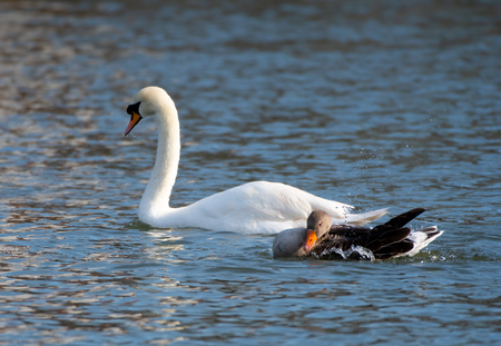 A mute swan and a Greylag Goose swim side by side on the River Thames 免版税图像