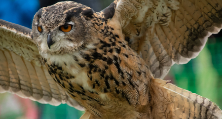 A Eurasian Eagle owl in flight during a falconry display at Henley Country crafts show