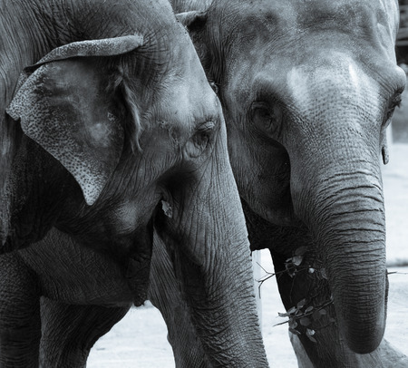 A monochrome picture of a pair of Elephants eating