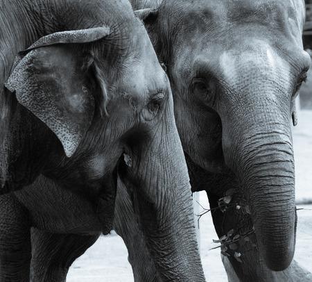 Ein monochromes Bild eines Elefantenpaares beim Essen Standard-Bild