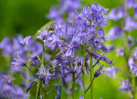 A close up of bluebells against a green background