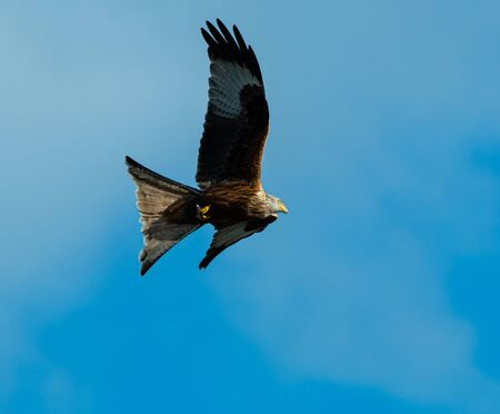 A majestic red kite flying through blue skies above Reading Reklamní fotografie