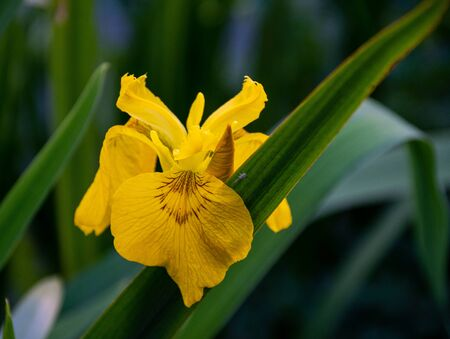 A close up of a wild Yellow Iris