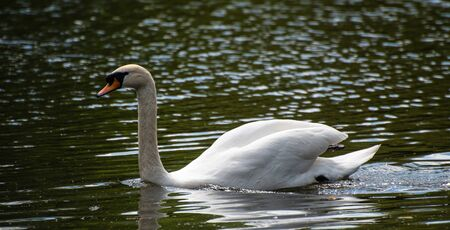 A mute swan glides peacefully across a park lake Stock Photo