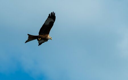 A majestic red kite flying through blue skies above Reading Stock Photo