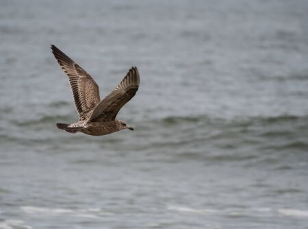 A Juvenille Ring Billed Gull flying along the shore of the Atlantic Ocean in New Jersey Stock Photo