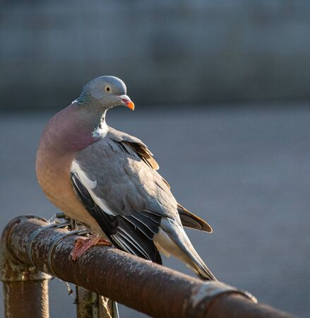 A Common Wood Pigeon looks over its shoulder whilst perched on a railing on the Thames footpath through Reading Stock Photo