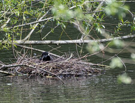 A coot sitting on its nest in a park lake Stock Photo