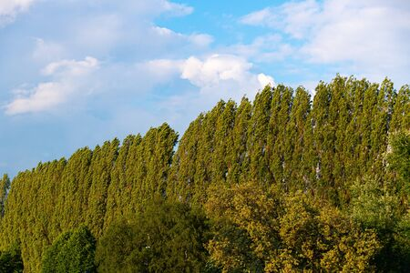 A line of poplar trees in the sunset