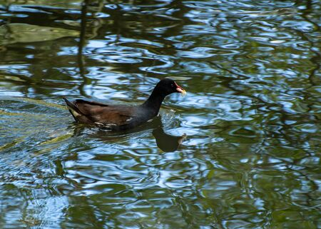 A moorhen swimming on a park lake Stock Photo