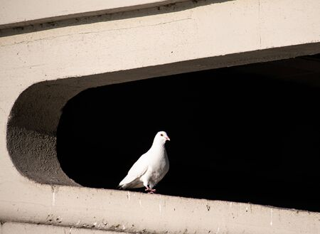 A White feral pigeon sits in the Transom of Rading Bridge