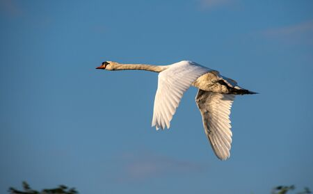 A majestic Mute Swan flying along the River Thames in Reading
