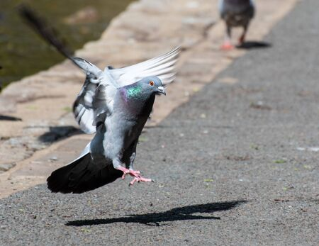 A common pigeon coming in to land on the footpath by a park lake Stock Photo