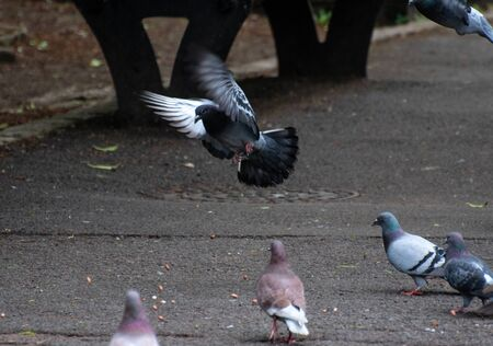 A feral pigeon flying to the ground in a park
