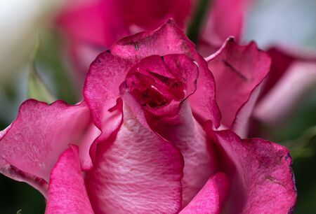 close up of a pink rose flower