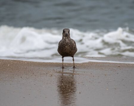 A Juvenille Ring Billed Gull walking along the shore of the Atlantic Ocean in New Jersey