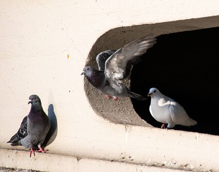 Feral pigeons on the Spandrels of Reading Bridge Stock Photo