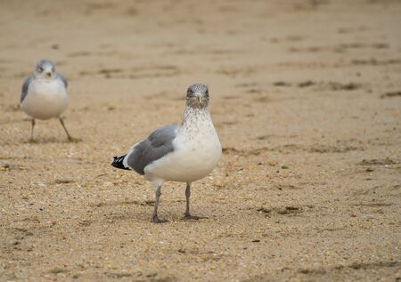 A Ring Billed Gull walking along the shore of the Atlantic Ocean in New Jersey