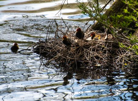 Coot chicks and eggs on their nest