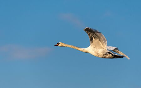 A beautiful Mute swan flying over the River Thames in Reading