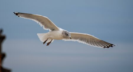 A Ring Billed Gull Flying along the shore of the Atlantic Ocean in New Jersey