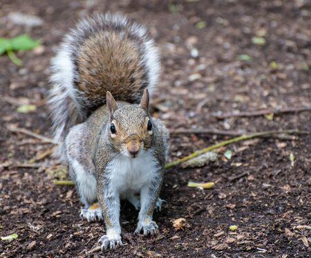 A portrait of a wild Grey Squirrel Foto de archivo - 132051033