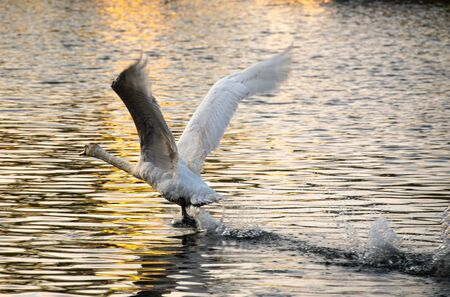 A must swan runs along the surface of the river Thames gathering speed for take off Stock Photo