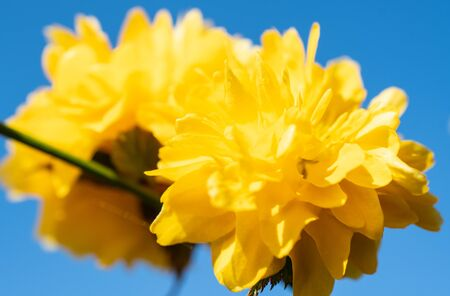 Bright yellow tree blossom against a deep blue sky Stock Photo