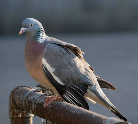 A Common Wood Pigeon perched on a railing on the Thames footpath through Reading