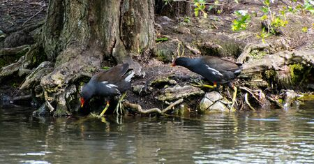 A moorhen climbs into a park lake as another climbs out