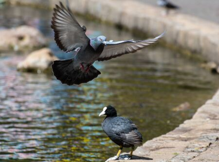 A common pigeon coming in to land as a coot looks on