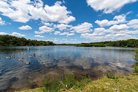 A flock of Canada Gesse swim along the shore of Horseshoe lake
