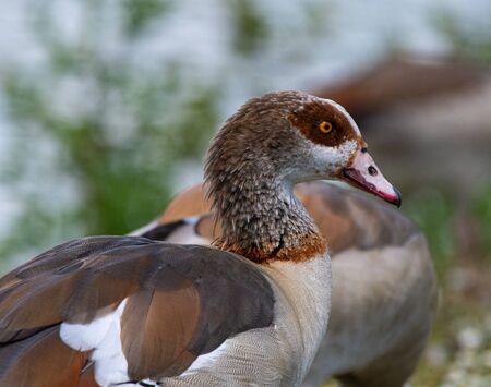 A portrait of an Egyptian Goose by Horseshoe Lake 版權商用圖片