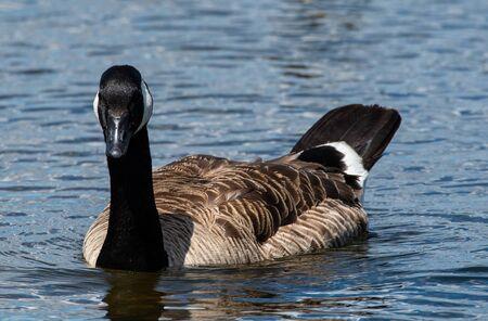A portrait of a Canada Goose swimming on Horseshoe Lake 版權商用圖片