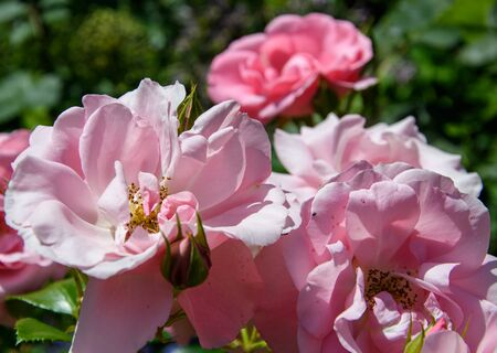 A pink rose growing in an Oxford park 版權商用圖片