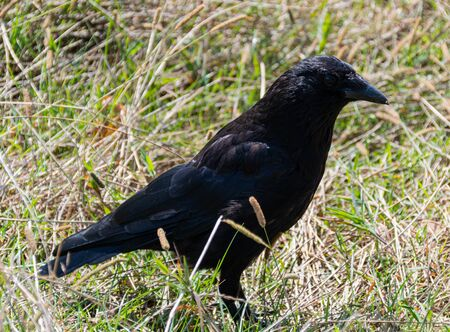 A Carrion Crow foraging for food in the grass 版權商用圖片