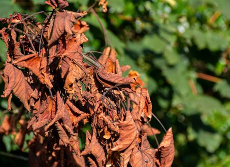 A group of dead red leaves still attached to the tree in early autumn 版權商用圖片
