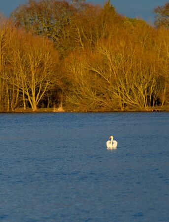 A mute Swan displays its wing feathers as it drifts along the water of Black Swan Lake in Dinton pastures 版權商用圖片