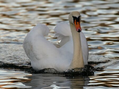 A mute Swan displays its wing feathers as it drifts along the water of Blqck Swan Lake in Dinton pastures