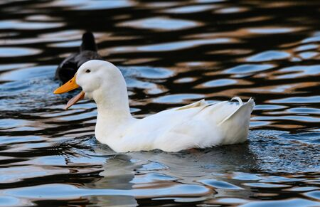 A Pekin, or Long Island duck, a domesticated variant of the mallard, swimmining on the waters of Dinton Pastures
