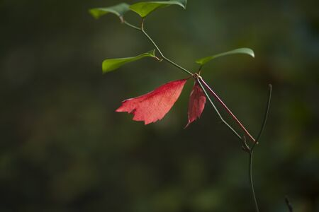 Red Leaves among Green Leaves