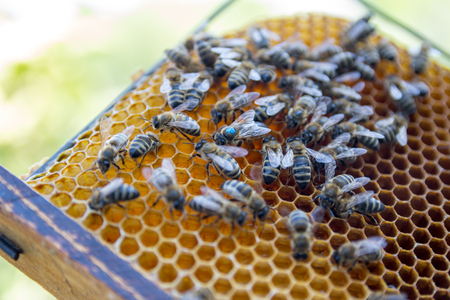 apiculture: Bees on honeycomb