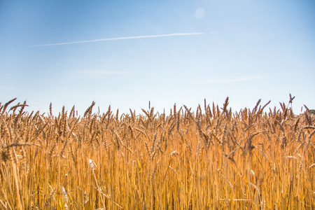 field of ripe wheat and blue sky with clouds